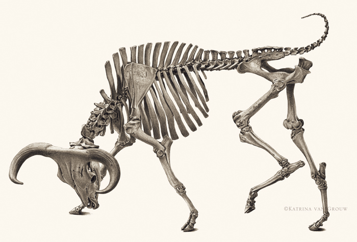 Skeleton of an Aurochs, from Unnatural Selection by Katrina van Grouw, published by Princeton University Press, 2018. Drawn from a cast specimen at the State Museum of Prehistory, Halle. ©Katrina van Grouw